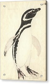 Magellanic Penguin Acrylic Print by Natural History Museum, London