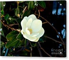 Magnolia Grandiflora Acrylic Print by Hanza Turgul