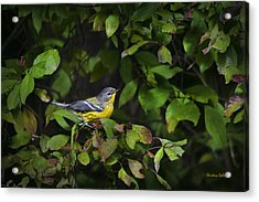 Magnolia Warbler Acrylic Print by Christina Rollo