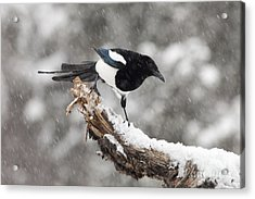 Magpie Out On A Branch Acrylic Print by Tim Grams