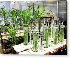 Maize Laboratory Research Acrylic Print by Eric Schmelz/us Department Of Agriculture