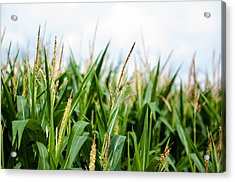 Maize On The Field Acrylic Print by Frank Gaertner