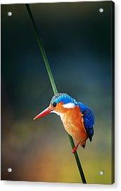 Malachite Kingfisher Acrylic Print by Johan Swanepoel