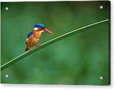 Malachite Kingfisher Tanzania Africa Acrylic Print by Panoramic Images
