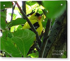 Male American Goldfinch Acrylic Print by J McCombie