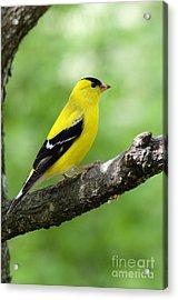 Male American Goldfinch Acrylic Print by Thomas R Fletcher