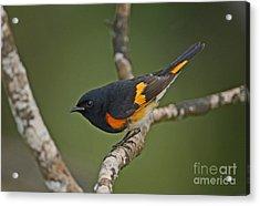 Male American Redstart Acrylic Print by Neil Bowman
