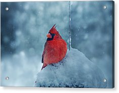 Male Cardinal In The Snow Acrylic Print by Sandy Keeton