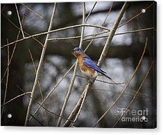Male Eastern Bluebird Acrylic Print by Cris Hayes