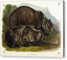 Male Grizzly Bear Acrylic Print by Audubon