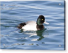 Male Lesser Scaup Acrylic Print by Shoal Hollingsworth