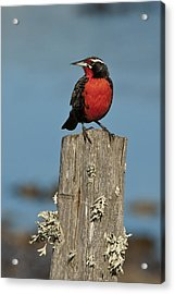 Male Long-tailed Meadowlark On Fencepost Acrylic Print by John Shaw