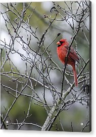 Male Northern Cardinal Acrylic Print by Heather Applegate