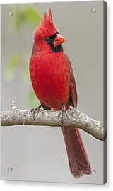 Male Northern Cardinal In January Acrylic Print by Bonnie Barry
