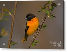 Male Northern Oriole Acrylic Print by Thomas and Pat Leeson