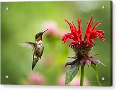 Male Ruby-throated Hummingbird Hovering Near Flowers Acrylic Print by Christina Rollo
