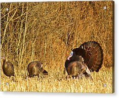 Male Tom Turkey With Hens Acrylic Print by Chuck Haney
