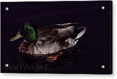 Mallard 2 Acrylic Print by Alicia Whiteford