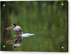 Mallard Splash Down Acrylic Print by Karol Livote