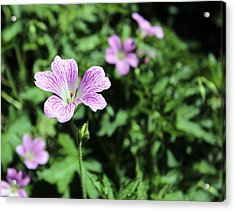 Mallow Cheeses Acrylic Print by Paul Fell