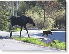Mama And Baby Moose Acrylic Print by Fiona Kennard