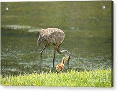 Mama And Chick Acrylic Print by Carol Groenen