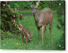 Mama Deer And Baby Bambi Acrylic Print by Kym Backland