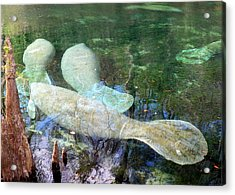 Manatee Gathering Acrylic Print by Sheri McLeroy