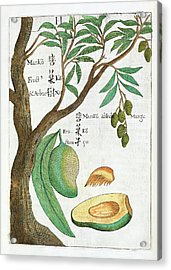 Mango Tree And Fruit Acrylic Print by Natural History Museum, London