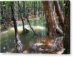 Mangrove Trees Acrylic Print by Ashley Cooper