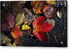 Maple Leaf In Shadow Acrylic Print by Michael Saunders