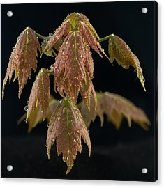 Maple Leaves With Water Drops Acrylic Print by Paul Freidlund