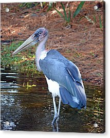 Marabou 2 Acrylic Print by Richard Bryce and Family