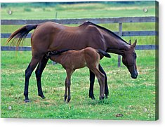 Mare And Foal Acrylic Print by Gail Maloney
