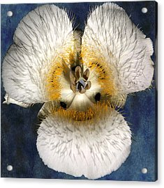 Mariposa Lily Two Acrylic Print by Belinda Greb