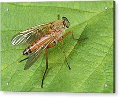 Marsh Snipe-fly Acrylic Print by Nigel Downer