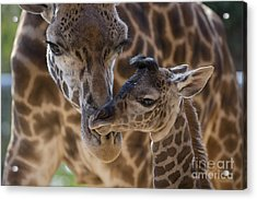 Masai Giraffe And Calf Acrylic Print by San Diego Zoo