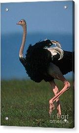 Masai Ostrich Acrylic Print by Art Wolfe