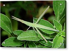 Mediterranean Slant-faced Grasshopper Acrylic Print by Nigel Downer