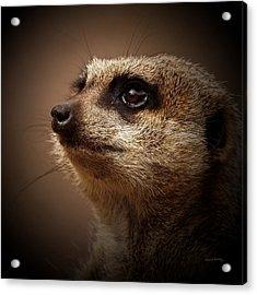 Meerkat 6 Acrylic Print by Ernie Echols