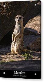 Meerkat Acrylic Print by Chris Flees