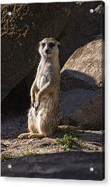 Meerkat Looking Forward Acrylic Print by Chris Flees