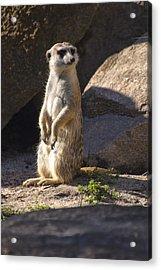 Meerkat Looking Left Acrylic Print by Chris Flees