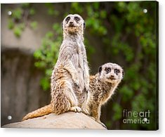 Meerkat Pair Acrylic Print by Jamie Pham