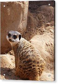 Meerkat Portrait Acrylic Print by Methune Hively