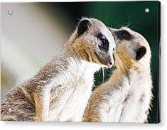 Meerkats Acrylic Print by Daniel Kocian
