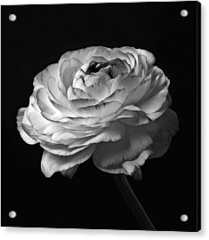 Black And White Roses Flowers Art Work Macro Photography Acrylic Print by Artecco Fine Art Photography