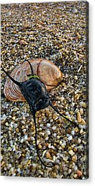 Mermaids Purse Acrylic Print by Heather Applegate