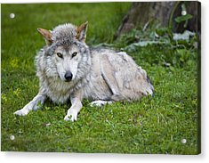 Mexican Gray Wolf Acrylic Print by Sebastian Musial