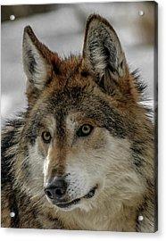 Mexican Grey Wolf Upclose Acrylic Print by Ernie Echols